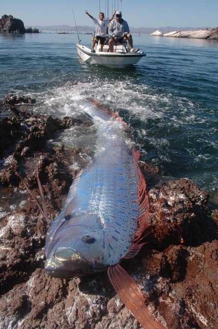 oarfish (2)
