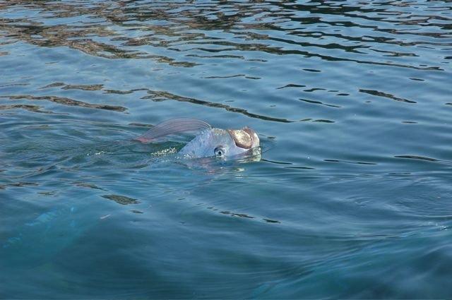 oarfish (12)