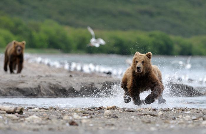 salmon-bear (6)