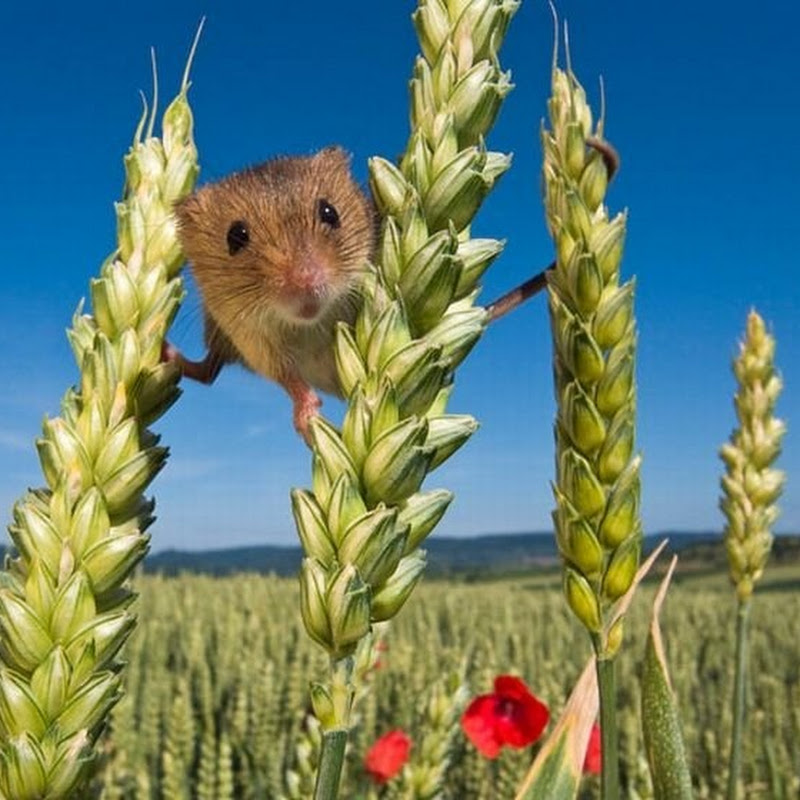 The Secret Life of the Harvest Mice