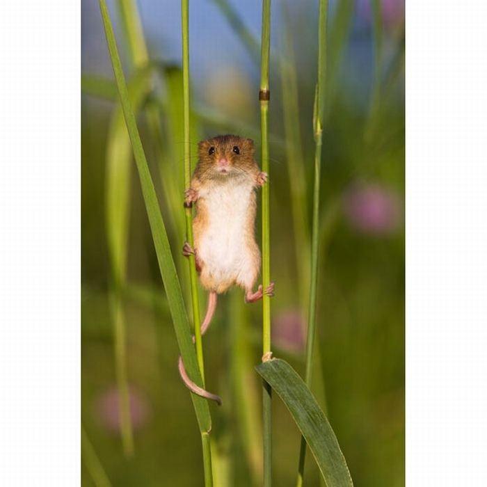 harvest-mice (17)