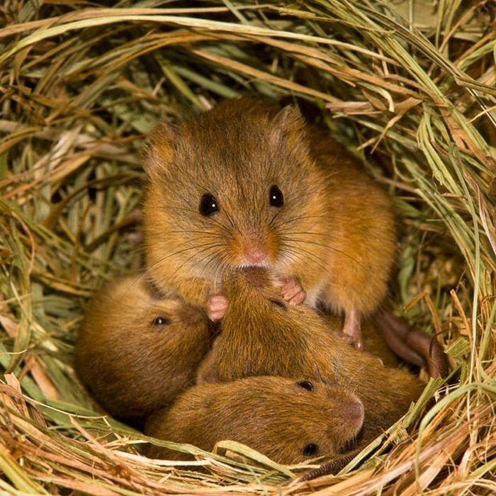harvest-mice (3)