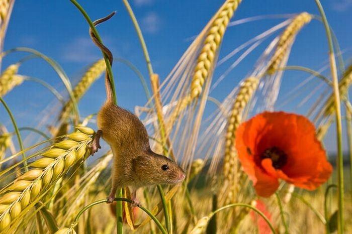 harvest-mice (4)
