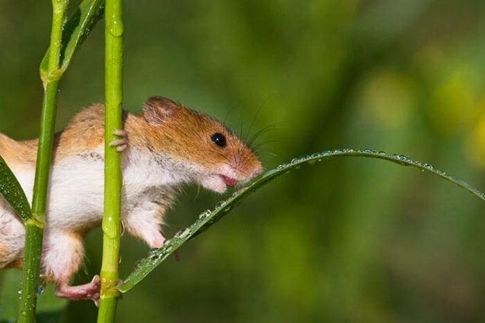 harvest-mice (5)