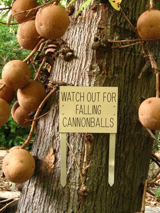 cannonball-tree (2)