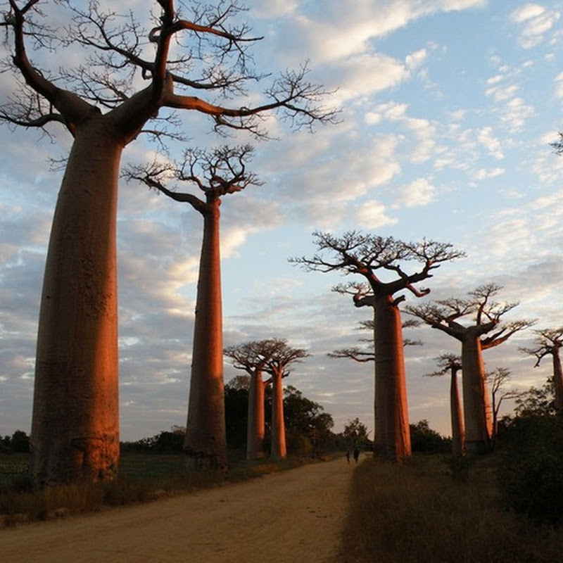 Baobab: The Upside-Down Tree