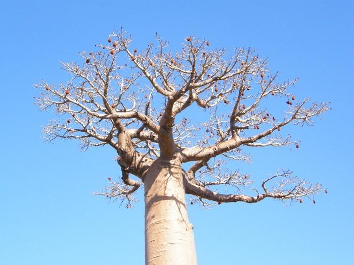 baobab (1)