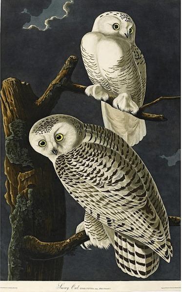 birds-of-america (11)