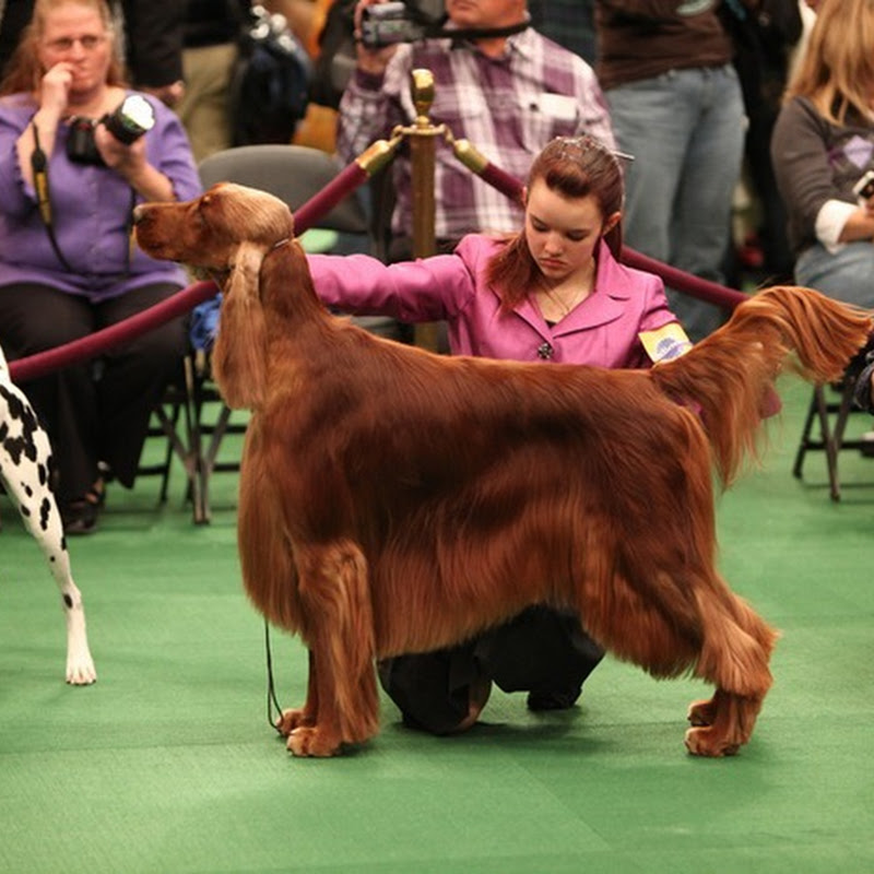 Westminster Dog Show 2011