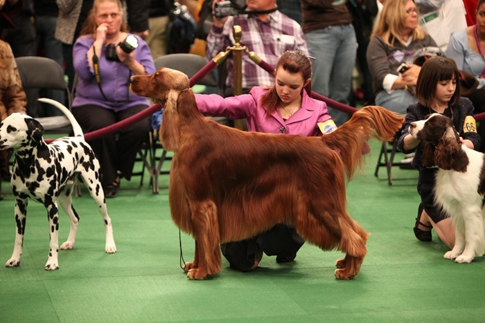 westminister-dog-show-2011000