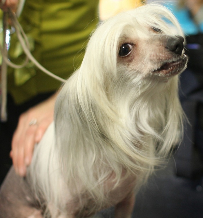 Chinese Crested Hairless- she reminds me of Janice from the muppets