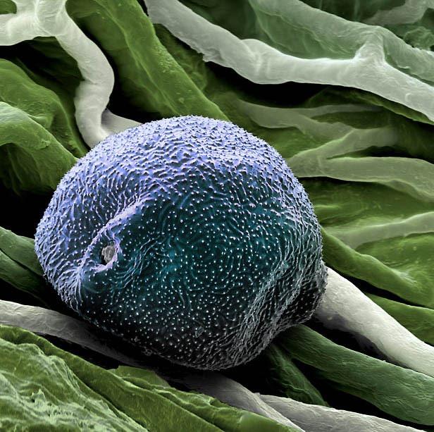 pollen02