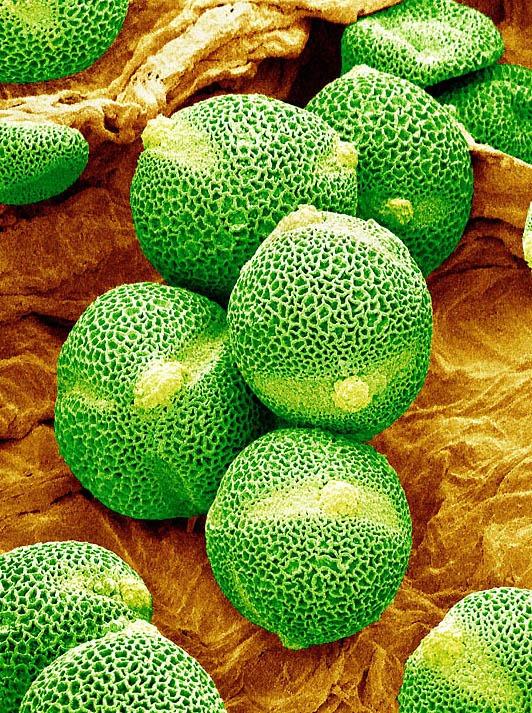 pollen08