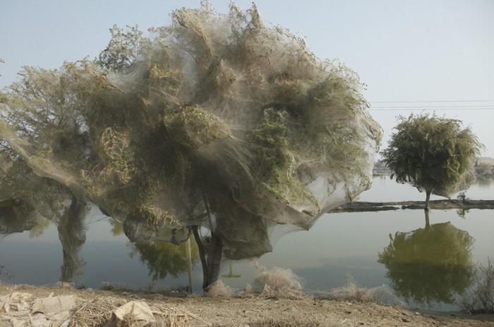 tree-cocoons5