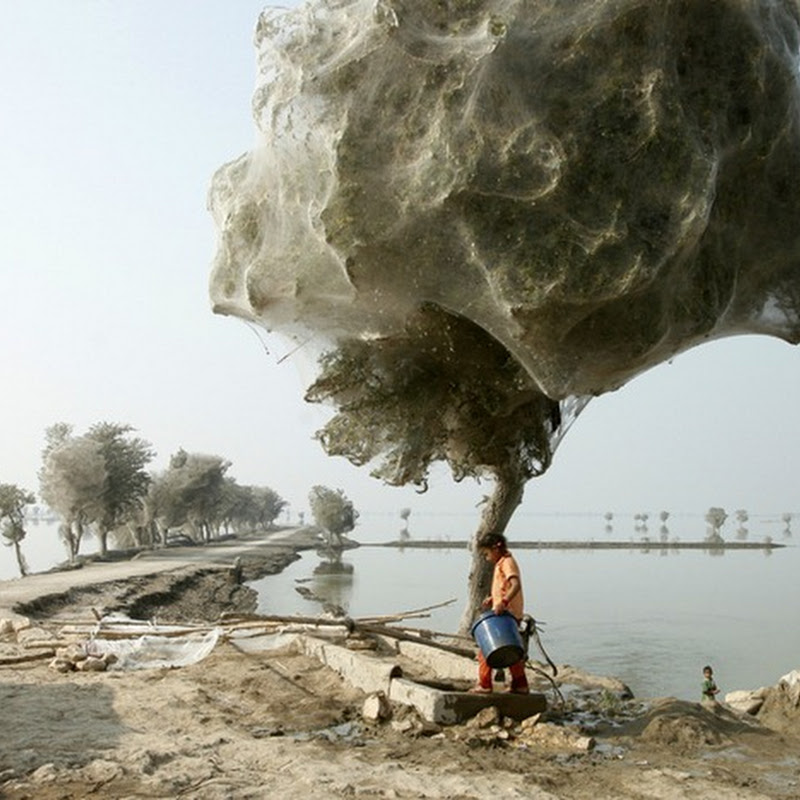 Trees Cocooned in Spider Webs After Pakistan Flood