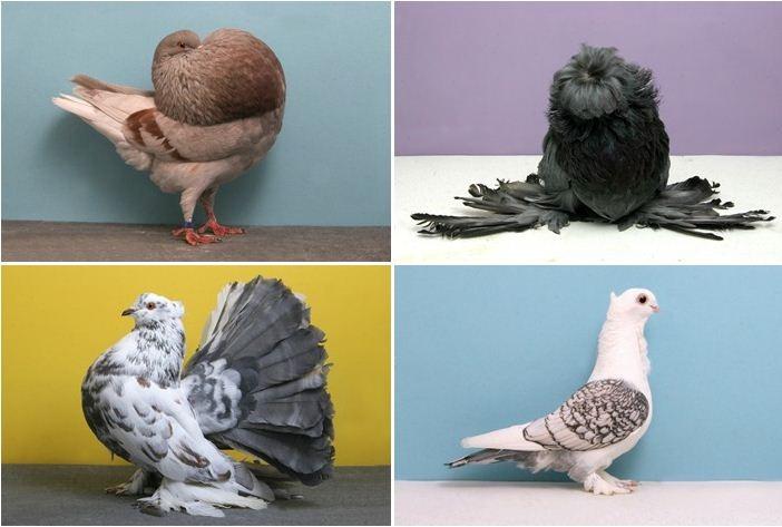 pigeons-champion