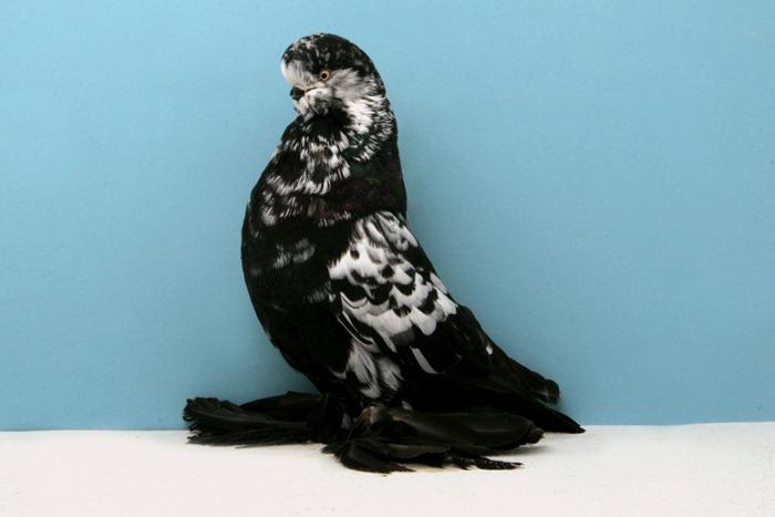pigeons-champion10