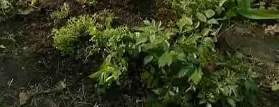 Lekarstvennyj-cvetnik