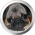 Pug Clock Widget icon