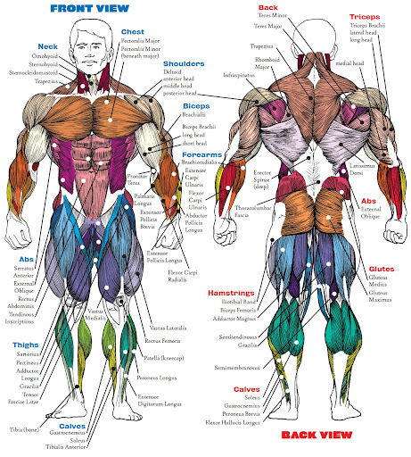 Upper Side Body Diagram http://www.ironbodybuilding.net/2009/06/body-building-anatomy.html