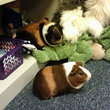 Best of Guinea Pigs