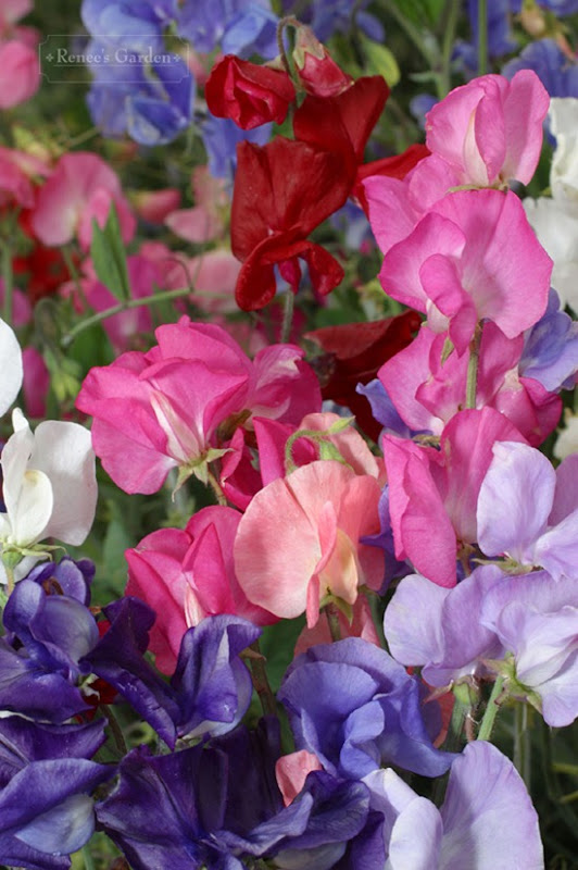 Perfume Delight Sweet Peas