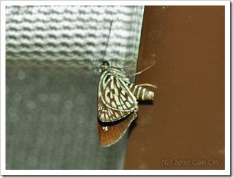 Plastingia naga_GanHome-20100309_D5300-320