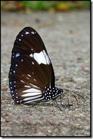 Euploea radamanthus-200206-BTNR-DSCN5856-480