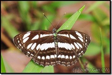 Neptis hylas papaja-MYBunker-20090222_0056-360