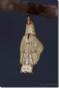 Neptis hylas papaja-MyBunker-20090310_0334a-600