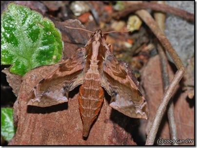 Eupanacra elegantulus-200803-N8173-640