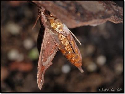 Eupanacra elegantulus-200803-N8210-640