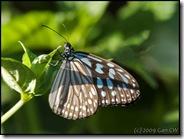 Ideopsis similis persimilis-MYGopeng_20090312_0180-480