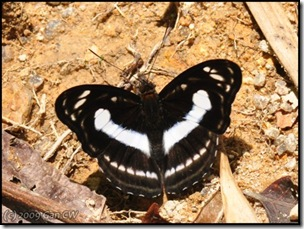 Athyma selenophora selenophora-MYFHAdv_20090331_1068-480