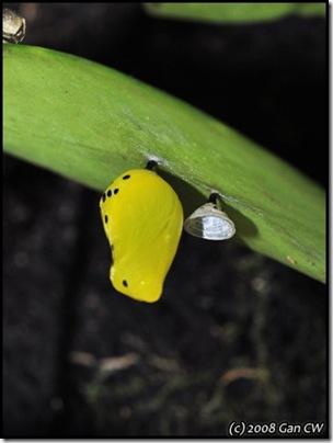 Ideopsis gaura-200811-MYPG_0517-480