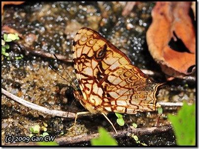 Symbrenthia hypatia chersonesia-MYFHNewRoad_20090425_0817-400