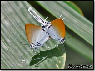 Neocheritra amrita amrita-MYFHRaub_20090423_0124-400