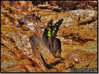 Graphium empedovana-MYFHRaub_20090423_1091-400