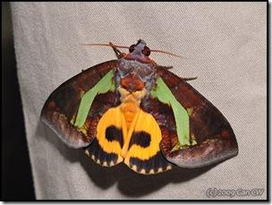 Eudocima homaena (f)-MYFH_20090424_0991-480