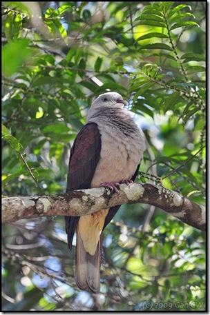 Mountain Imperial Pigeon-MYFH_20090424_0899-600