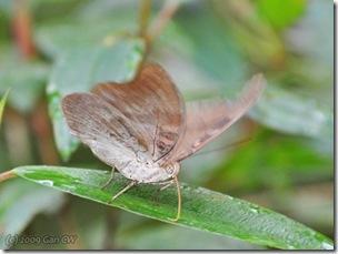 Dophla evelina compta-MYBunker-20090222_0040-480