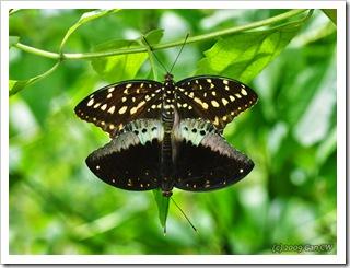 Lexias pardalis jadeitina-Th_SoppongLimeStoneHill_20090904_4843-640