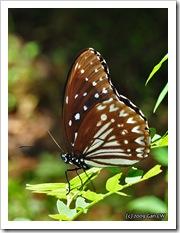Penthema darlisa melema (m)-Th_ThamLotCave_20090901_5678-640