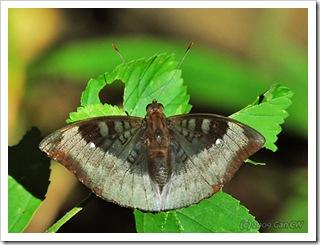 Euthalia monina kesava (m)-Th_ThamLotCave_20090903_5323-480