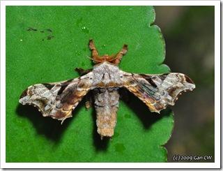 BOB-Gunda ochracea (maybe)-Th_CaveLodge_20090904_4980-480