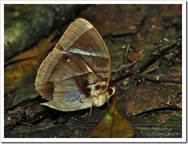 Thaumantis odana  pishuna-MYUluYam-20091205_D4056-640
