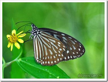 Ideopsis vulgaris macrina-MYKualaSelangor_20091203_D4005-360