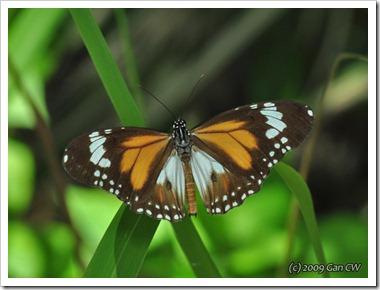 Danaus affinis malayanus-MYKualaSelangor_20091203_D3974-640