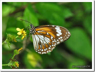 Danaus affinis malayanus-MYKualaSelangor_20091203_D3985-640