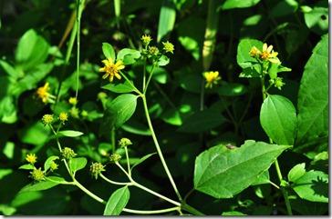 Wedelia biflora-MYKualaSelangor_20091203_D4018-640